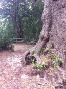 A gnarly tree. Angaston.